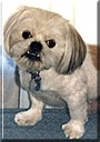 Mister Pugsley the Lhasa Apso/Pekingese