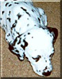 Purdy the Dalmatian