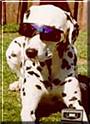Chica the Dalmatian