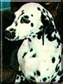 Ginger Spices the Dalmatian
