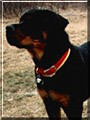 Bruno the Rottweiler