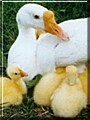 Mother Goose the White Chinese Goose