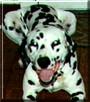 Onyx Rowland the Dalmatian