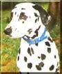 Montgomery Hale the Dalmatian