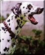 Daphne the Dalmatian