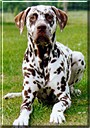 George the Dalmatian