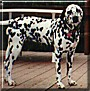 Pepper the Dalmatian