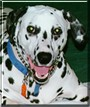 Katie Sue the Dalmatian