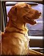 Fergie the Labrador Retriever/Vicala