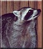 Taz the Raccoon