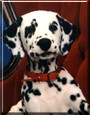 Kasey the Dalmatian