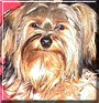 Copper the Yorkshire Terrier