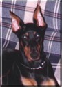 Callihan the Doberman Pinscher