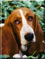 Molly the Basset Hound