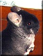 Hubba the Chinchilla