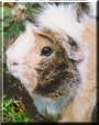 Pig the Guinea Pig
