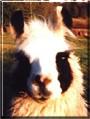 Mariner the Llama