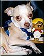 Vinny the Chihuahua