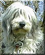 Ethel the Bearded Collie
