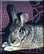 Buddy the Cottontail Rabbit