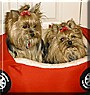 Brittany and Lilly the Yorkshire Terriers