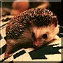 Murray the African Pygmy Hedgehog