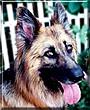 Loopa the German Shepherd