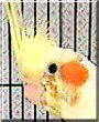 Pico the Cockatiel, Lutino