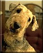 Trevor the Airedale