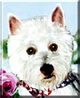 Chloe the West Highland White Terrier