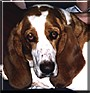Savannah the Basset Hound
