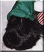 Beanie the Silkie Guinea Pig