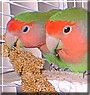 Butch, Rose the Peachfaced Lovebirds