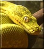 Sweetie the Green Tree Python