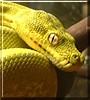 Sweetie the Green Tree Python