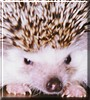 Snowball the African Pigmy Hedgehog