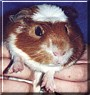 Seamus the Guinea Pig