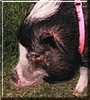 Mariah the Potbellied Pig
