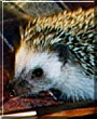 Petunia the African Pygmy Hedgehog