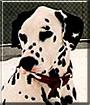 Oreo the Dalmatian