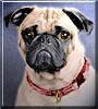 Gizmo the Pug