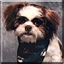 Rascal the Shih Tzu