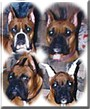 Hoss, Mitzi, Junior, Laci the Boxers