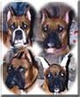 Hoss, Mitzi, Junior, Laci the Boxers