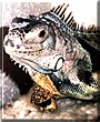 Louis the Iguana