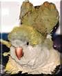 Frodo the Quaker Parakeet
