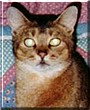 Cody the Abyssinian