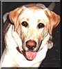 Angel the Yellow Labrador Retriever