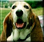 Bailey the Basset Hound
