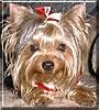 Shaela the Yorkshire Terrier